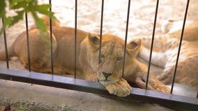 Una leona adentro en una jaula mira a través de una pajarera La leona está descansando en la pajarera del parque zoológico, un gr almacen de video
