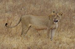Una leona de África Foto de archivo libre de regalías