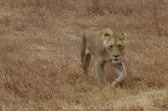 Una leona de África Imagen de archivo libre de regalías