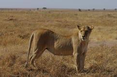 Una leona de África Fotos de archivo