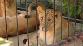 Una leona en un recinto del parque zoológico, una leona que miente en la sombra en tiempo caliente almacen de metraje de vídeo