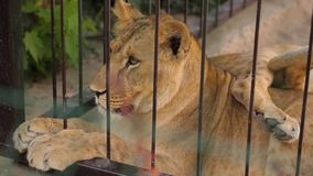 Una leona en un recinto del parque zoológico, una leona que miente en la sombra en tiempo caliente metrajes