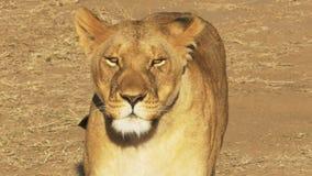 Una leona herida camina hacia la cámara y las llamadas a sus cachorros en reserva del juego de Mara del masai almacen de video