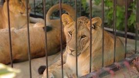 Una leona hermosa está descansando en la pajarera del parque zoológico, un grupo de leones está descansando en la pajarera metrajes