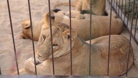 Una leona hermosa está descansando en la pajarera del parque zoológico, un grupo de leones está descansando en la pajarera almacen de metraje de vídeo