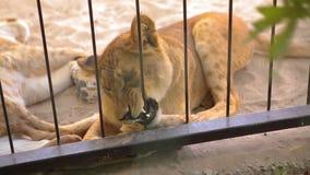 Una leona hermosa está descansando en la pajarera del parque zoológico, un grupo de leones está descansando en la pajarera almacen de video