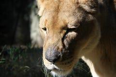Una leonessa Fotografia Stock Libera da Diritti