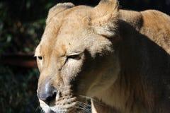 Una leonessa Immagini Stock Libere da Diritti