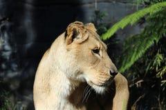 Una leonessa Immagine Stock Libera da Diritti