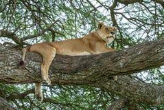 Una leonessa africana che riposa su un albero dell'acacia Fotografie Stock Libere da Diritti