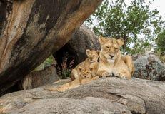 Una leonessa africana su un kopje con i suoi cuccioli fotografie stock
