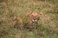 Una leonessa che aspetta nell'alta erba Fotografie Stock Libere da Diritti