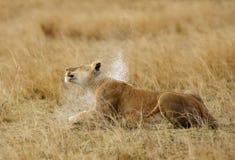 Una leonessa che scuote la sua testa per rimuovere l'acqua piovana Fotografia Stock Libera da Diritti