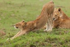 Una leonessa d'allungamento sui pascoli Fotografia Stock Libera da Diritti