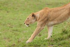 Una leonessa d'allungamento sui pascoli Immagine Stock Libera da Diritti