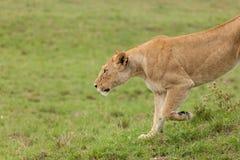 Una leonessa d'allungamento sui pascoli Immagini Stock Libere da Diritti
