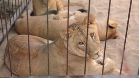 Una leonessa dentro in una gabbia guarda attraverso un'uccelliera La leonessa sta riposando nell'uccelliera dello zoo, un gruppo  archivi video