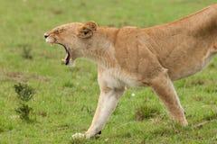 Una leonessa di sbadiglio sui pascoli Fotografia Stock