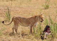 Una leonessa sola con una carcassa immagini stock