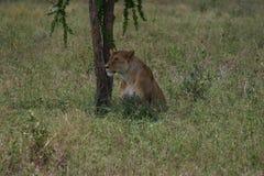 Una leonessa sotto un albero Fotografie Stock