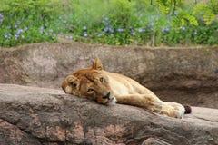 Una leonessa sta riposando su una roccia nello zoo di Osaka (Giappone) Immagini Stock Libere da Diritti