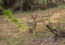 Una lepre di grigio-Brown si siede nella savana fotografia stock libera da diritti