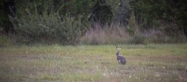 Una lepre nordamericana con coda nera fotografia stock