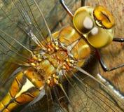 Una libélula Fotografía de archivo