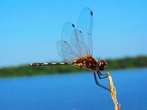 Una libélula foto de archivo libre de regalías