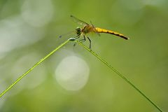 Una libélula amarilla Foto de archivo