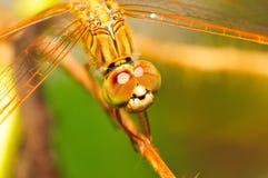 Una libélula anaranjada Fotos de archivo