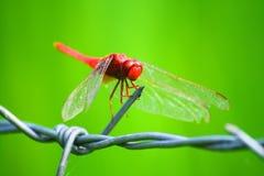 Una libélula de Tailandia Imágenes de archivo libres de regalías