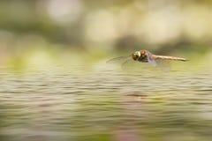 Una libélula del vuelo imágenes de archivo libres de regalías