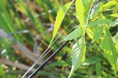 Una libélula en una hoja Hierba verde Libélula de la turquesa El verano ha venido insectos fotografía de archivo libre de regalías