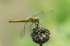 Una libélula en la flor Foto de archivo libre de regalías