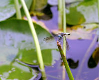 Una libélula encaramada encima de un palillo Imágenes de archivo libres de regalías