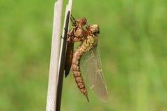 Una libélula melenuda no madura recientemente emergida, pratense de Brachytron, encaramándose en una caña con su exuvium fotografía de archivo libre de regalías