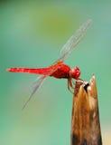 Una libélula roja fotografía de archivo libre de regalías