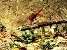 Una libélula roja Imagen de archivo libre de regalías