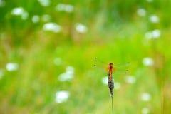 Una libélula se sienta en una cuchilla de la hierba Imagen en un fondo borroso de las plantas del campo Foto de archivo libre de regalías