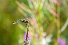 Una libélula se sienta en una rama de un arbusto dañado por las orugas Imágenes de archivo libres de regalías