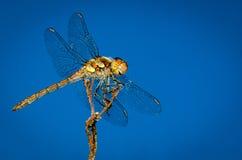 Una libélula sonriente Fotografía de archivo libre de regalías