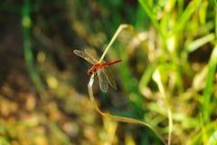 Una libellula Fotografia Stock Libera da Diritti