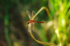 Una libellula Fotografie Stock Libere da Diritti