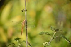 Una libellula Fotografia Stock