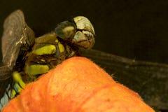 Una libellula con gli occhi sfaccettati blu-chiaro, si siede su pepe Immagine Stock Libera da Diritti