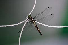 Una libellula con la rete di calcio Fotografia Stock