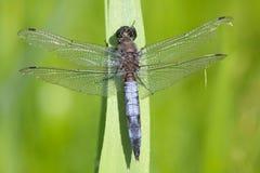 Una libellula della scrematrice munita il nero che riposa al sole fotografie stock libere da diritti