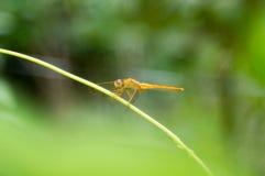 Una libellula gialla sul edule di secium ghiandolare fotografia stock libera da diritti