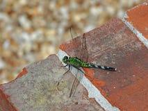 Una libellula orientale femminile verde di Pondhawk Fotografie Stock Libere da Diritti